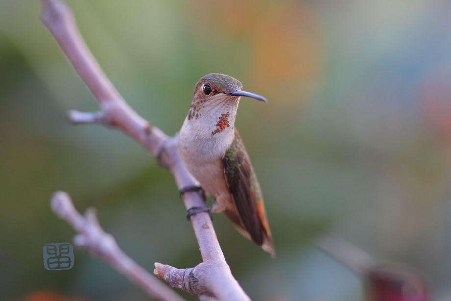 Allen's Hummingbird 0323014