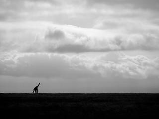 Lone giraffe