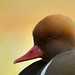 Red Crested Pochard by Benjamin Joseph Andrew