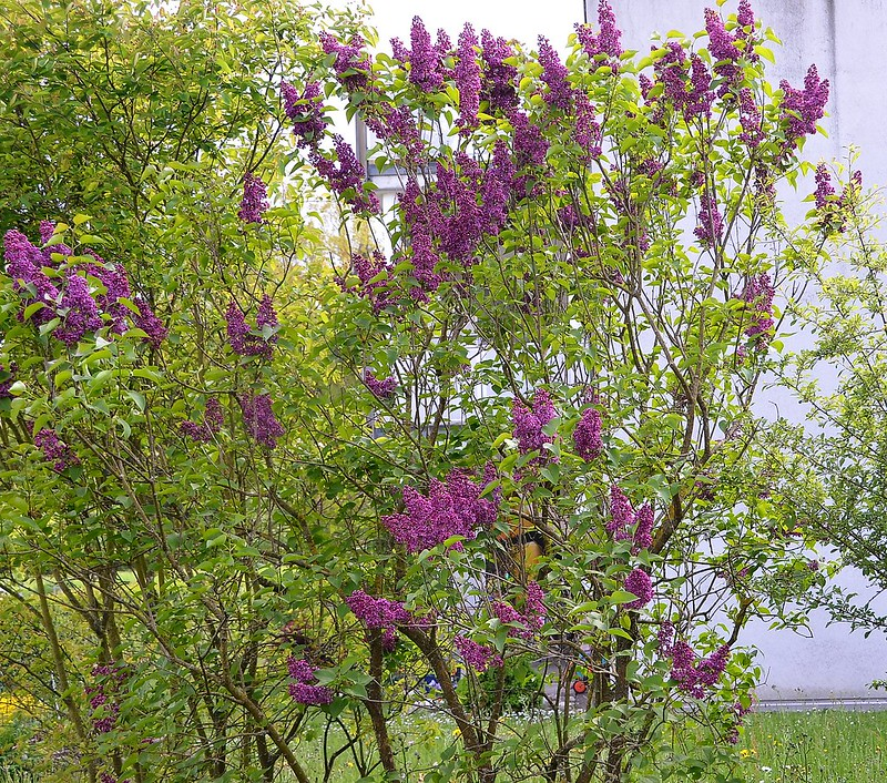 Lilac 08.05 (4)