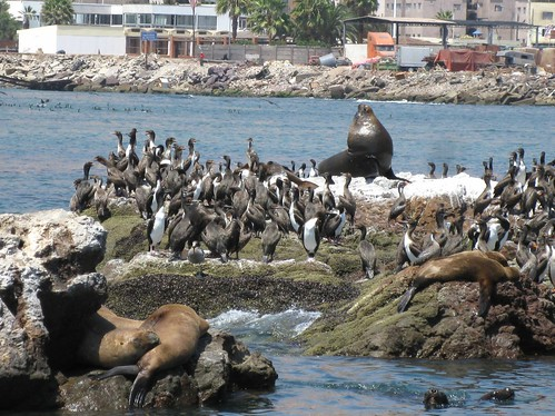 Sea lion in Iquique