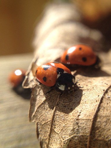 Meeting of LadyBirds