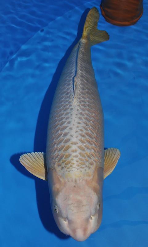 104 cm Mukashi Ogon. Jumbo Champion B
