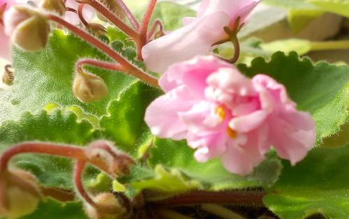 pink saintpaulia