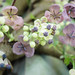 Small photo of Akebia quinata; Chocolate vine; male & female flowers