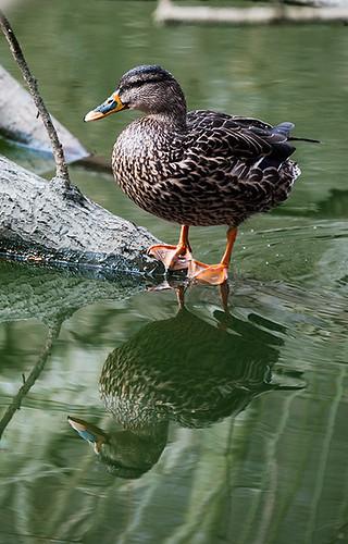 Canadian quack.