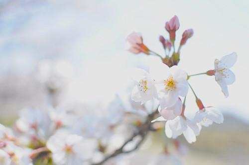 [フリー画像素材] 花・植物, 桜・サクラ ID:201204170600