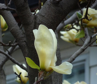 single white magnolia