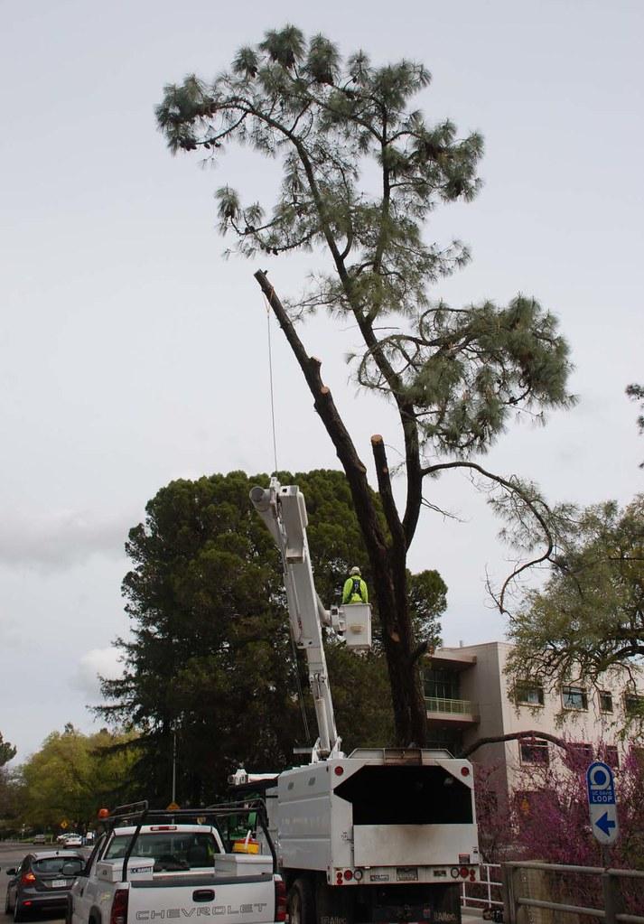 grey-pine-removal1b