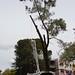 Grey Pine Removal