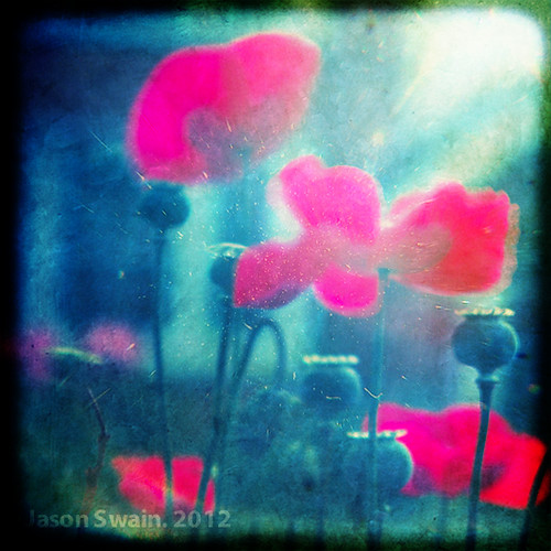 Long exposure poppy