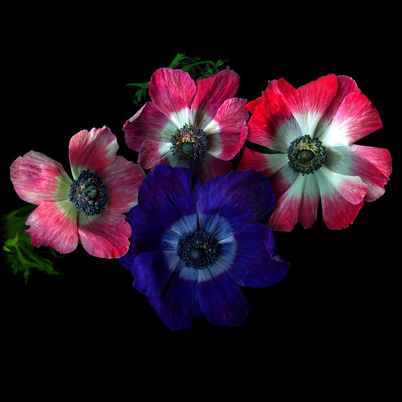 THE FESTIVE ANEMONES ... by magda indigo