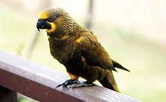 進口自索羅門群島的褐色吸蜜鸚鵡,多宣稱為人工繁殖個體。© Carrie J. Stengel/TRAFFIC Southeast Asia