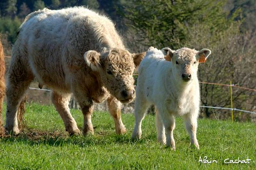 france cow nikon calf vache galloway ardèche veau rhônealpes vivarais d80 saintmicheldechabrillanoux