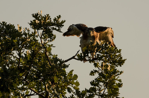 Red-tailed Hawk_1494.jpg