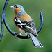 Chaffinch Male in Ring