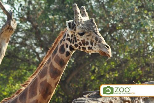 Reticulated Giraffe Chapultepec