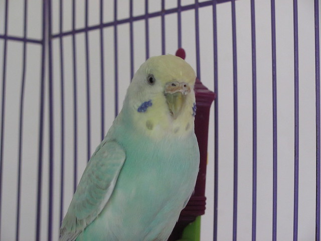 Seagrass cute budgie girl 1