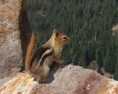 fox squirrel(0.0), rodent(0.0), prairie dog(0.0), marmot(0.0), animal(1.0), squirrel(1.0), mammal(1.0), fauna(1.0), chipmunk(1.0), wildlife(1.0),