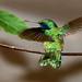 Green Violet-ear (Roger Parker)