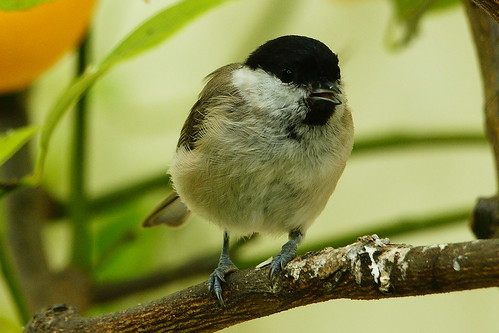 DSC08653 - Willow Tit
