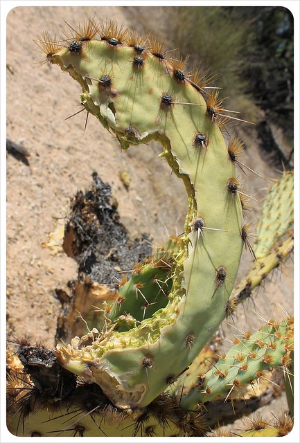 cactus with bite in arizona