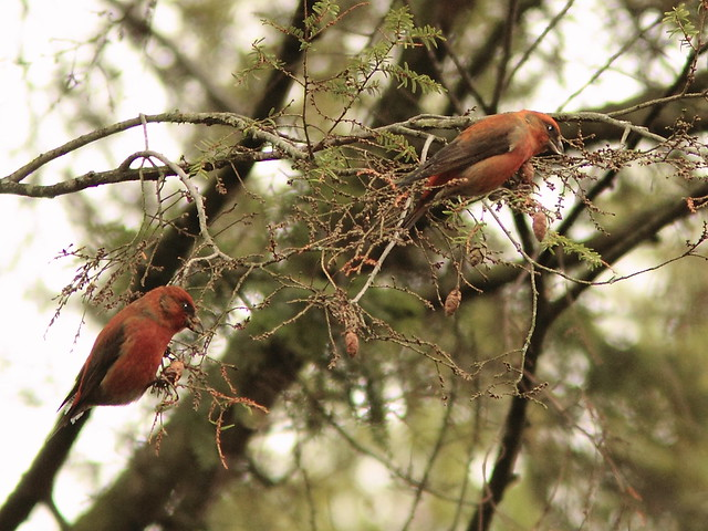 Red Crossbills 4-20121108
