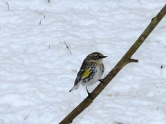 Little Feathered Beauty in February's Snow