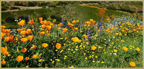 lake diamond valley poppies wildflowers bouquet lupine