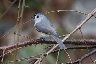 """Tufted Titmouse"" ""Baeolophus bicolor"""