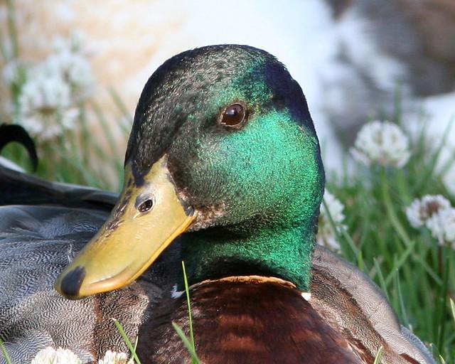 2 Duck 20d _6181