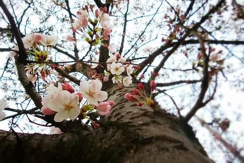 Sotto un ciliegio da #fiore, #primavera by Ylbert Durishti