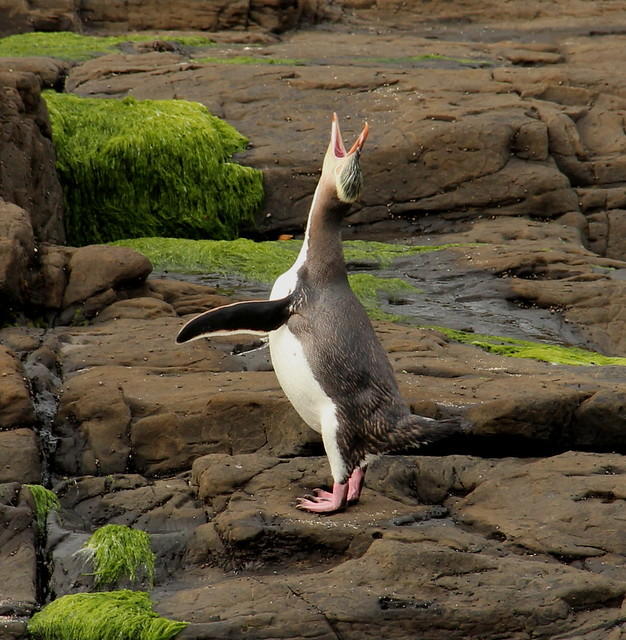 New Zealand, Curio Bay, Yellow eyed Penguin