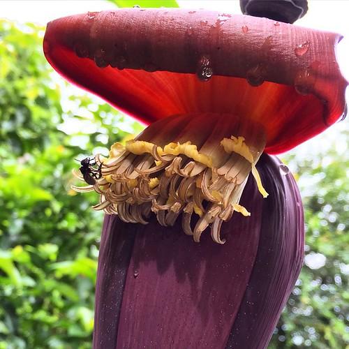 Flor de bananeira 😍 com direito a abelhinha🐝🍌