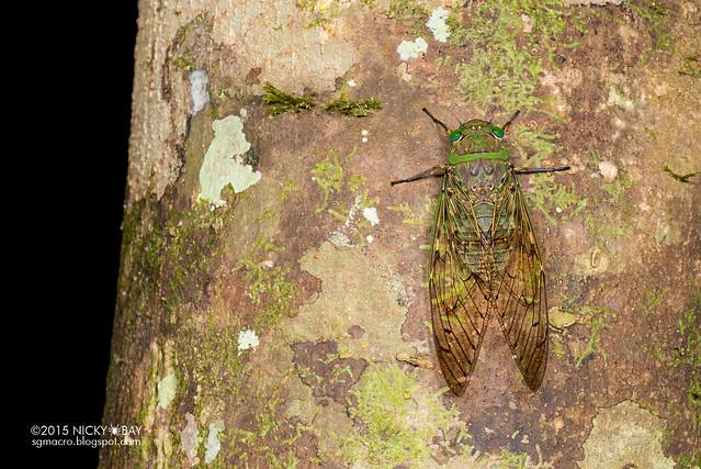 Cicada (Cicadidae) - DSC_3581