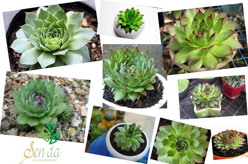 caysenda.com | sen da | xuong rong | tieu canh sen da | art plant | terrarium | sen phat ba