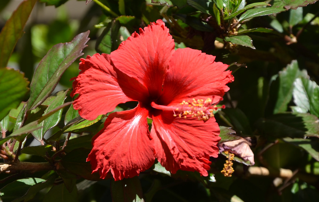 Dsc2816 Red Hibiscus North Adelaide South Australia Flickr