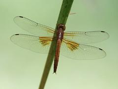 Twister (Tholymis tillarga) female
