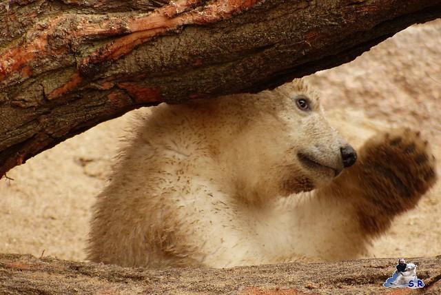 Zoo Rostock Eisbären 28.03.2015  15