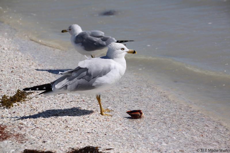 Sanibel Seagulls