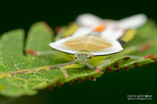Giant shield bug (Tessaratomidae) - DSC_3229
