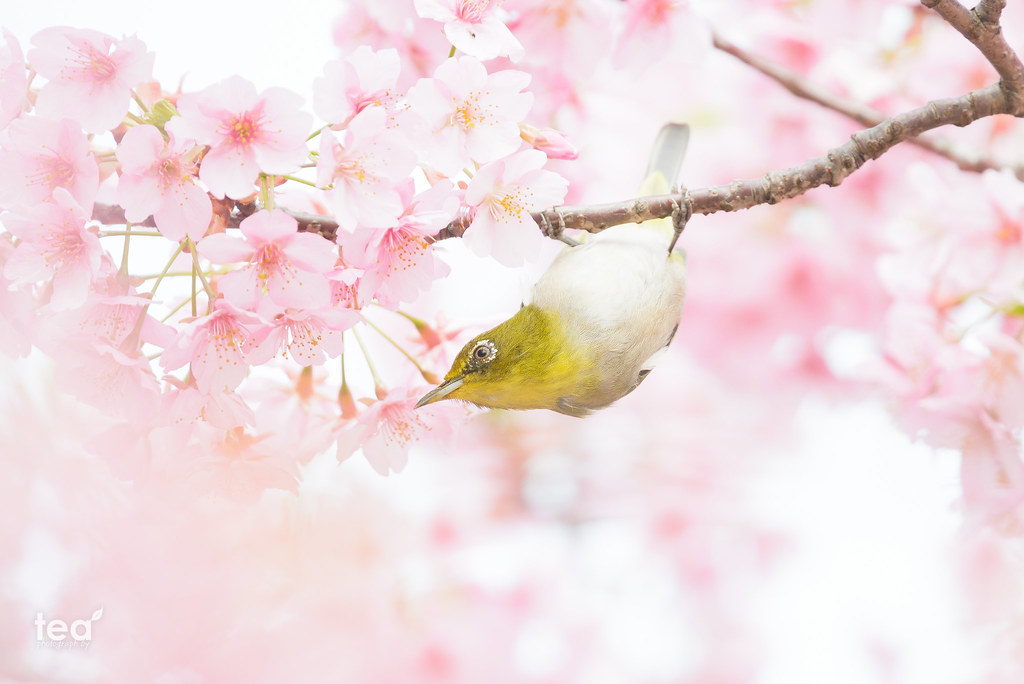 White-eyes & Cherry tree 2 | AF-S NIKKOR 300mm f/4E PF ED VR