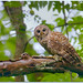 Barred Owl by BN Singh