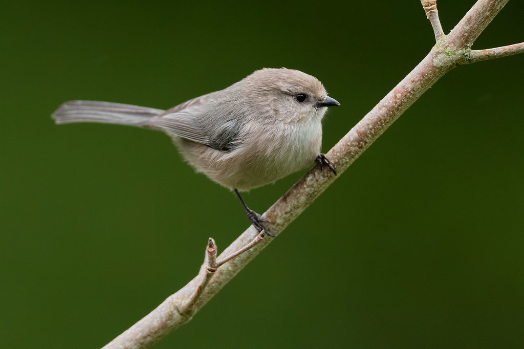 A male bushtit perches on our dogwood tree