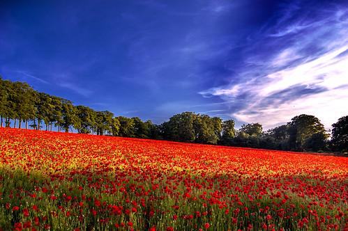 Barham Poppies