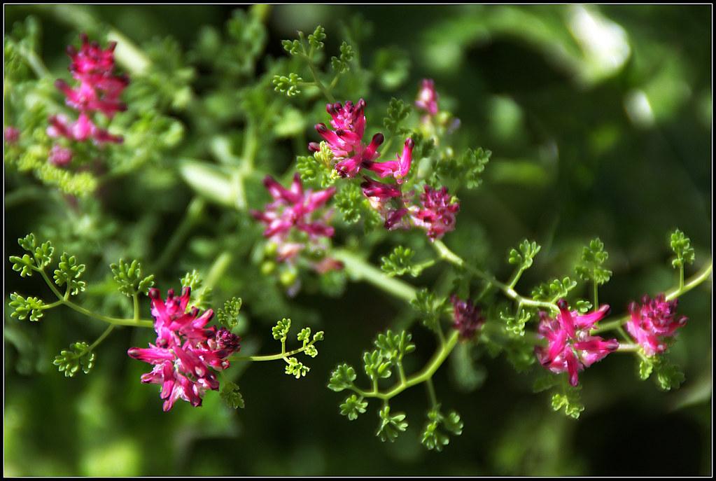 plantas silvestres: fumaria