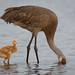 Sandhill Crane Chick and Parent by Photomatt28