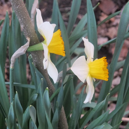 Elizabeth Park daffodils with ants by Coyoty