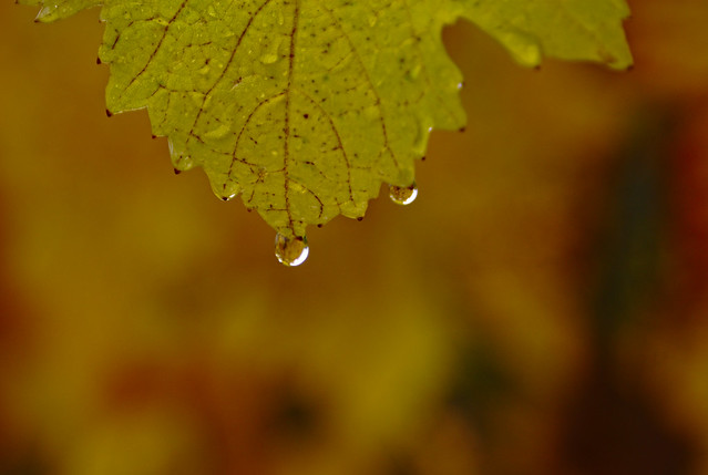 Grape leaf in rain