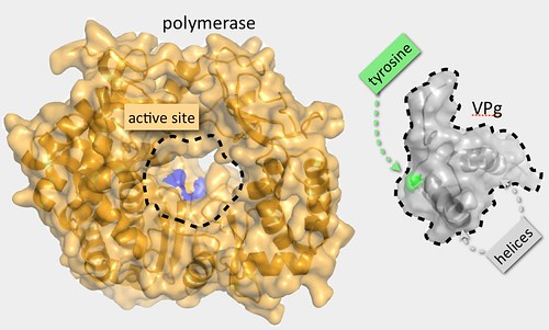 Norovirus polymerase and Vpg